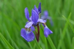Iris im Stadtgarten Stockfoto