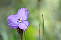Iris indigène de drapeau pourpre avec la mouche de vol plané Photo stock