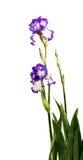 Iris Inky blue flower. Iris flower on white background Royalty Free Stock Photos
