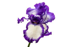 Iris Inky blue flower. Iris flower on white background Stock Photography