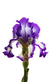 Iris Inky blue flower. Iris flower on white background Royalty Free Stock Photo