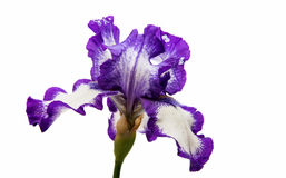 Iris Inky blue flower. Iris flower on white background Stock Images