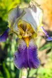Iris. Flower  large, consists of six sometimes three petaloid perianth segments Outer and inner lobe of the  flower with different shape, size and color. Garden Royalty Free Stock Photography