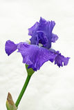 Iris Isolated. Against background and close up Royalty Free Stock Photos