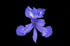 Iris isolated on black. Iris flower after a rainy day Royalty Free Stock Image