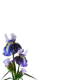 Iris Isolated Corner Design Stock Photography