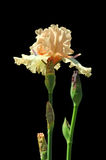 Iris Isolated over Black Royalty Free Stock Photography