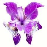 Iris isolated on white Stock Image