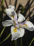 Iris japonés Imágenes de archivo libres de regalías