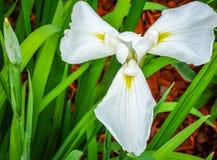 Iris japonés Fotos de archivo libres de regalías