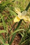 Iris japonés amarillo Imagenes de archivo