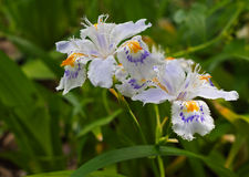 Iris japonica aka Fringed or crested iris Royalty Free Stock Image