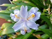 Iris japonica blooming detail. The colors of iris japonica blooming detail stock image