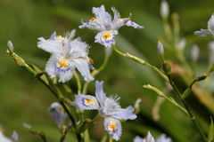 Iris japonica Royalty Free Stock Photo