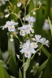 Iris japonica Royalty Free Stock Photos