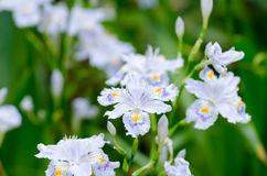Iris japonica Stock Image