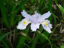 The Iris japonica Thunb flower Stock Photo