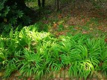 Iris japonica Thunb Stock Photography
