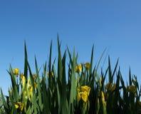 Iris jaune Image libre de droits