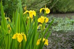 Iris jaune Photo stock