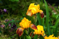 Iris jaune dans le jardin Photos stock