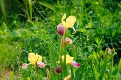 Iris jaune de Bourgogne un jour ensoleillé clair contre un macro vert clair brouillé de fin d'herbe Photo stock