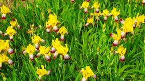 Iris jaunes Photo stock