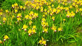 Iris jaunes Photo libre de droits