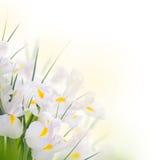 Iris jaunes Image stock