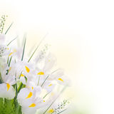 Iris jaunes Photos stock