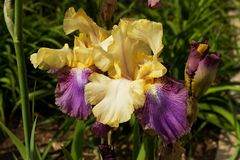 Iris jaunes Photos libres de droits