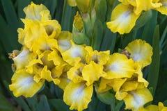 Iris jaunes Photographie stock