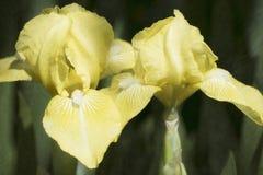 Iris jaunes Image libre de droits