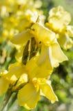 Iris jaunes dans le jardin Image libre de droits