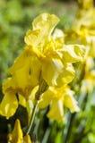 Iris jaunes dans le jardin Images stock