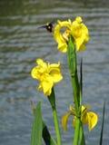 Iris jaunes de fleurs et un bourdon en vol Photo stock