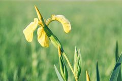 Iris jaunes de fleurs sur le pré vert Photo libre de droits
