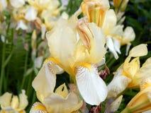 Iris jaunes en gros plan Images stock