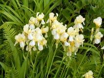 Iris jaunes en gros plan Image libre de droits