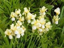 Iris jaunes en gros plan Photographie stock libre de droits