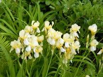 Iris jaunes en gros plan Images libres de droits