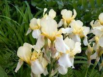 Iris jaunes en gros plan Photos stock