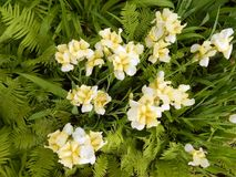 Iris jaunes en gros plan Photo libre de droits