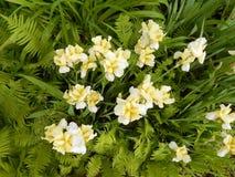 Iris jaunes en gros plan Photographie stock