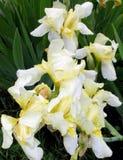 Iris jaunes en pastel Photos stock