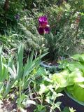Iris jaunes fleurissants sur un lit de fleur Images stock