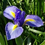 Iris Joy stockfotos
