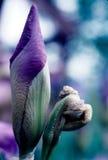Iris klaar te bloeien Stock Foto