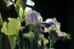 Iris Knospen und Blumenblattnahaufnahme auf schwarzem Hintergrund Stockbild