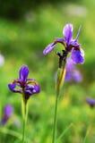 iris kwiatów Zdjęcie Stock